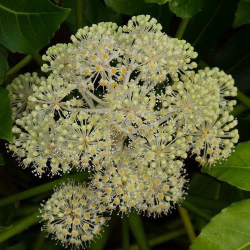 Winter flower: fatsia, West Park