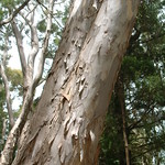Eucalyptus globulus bark