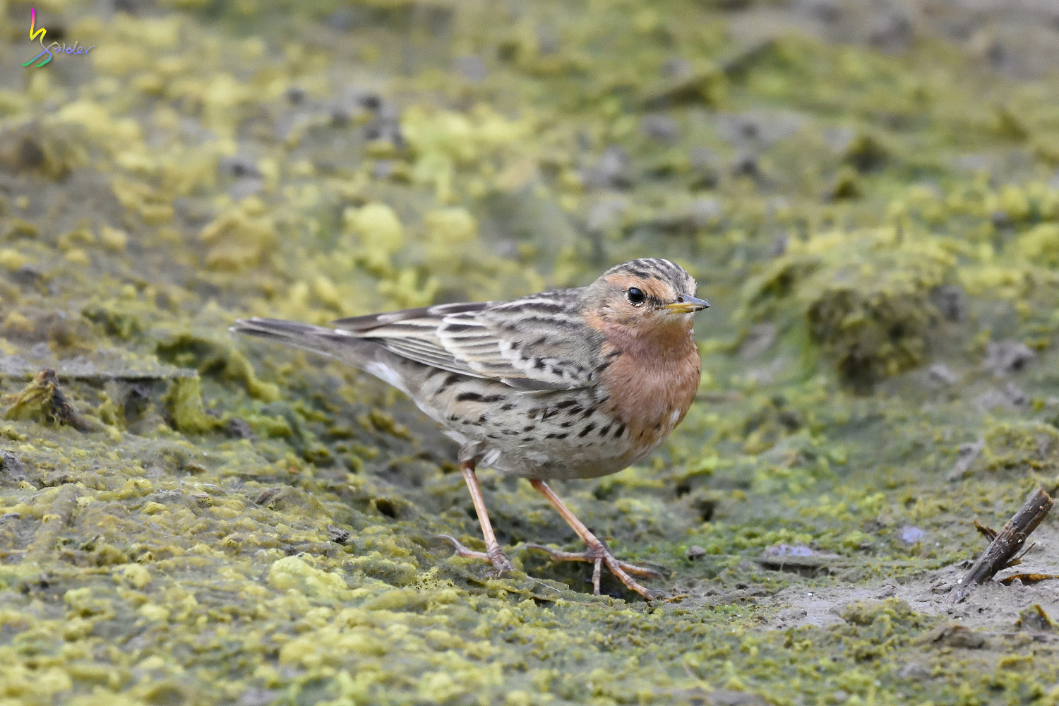 Red-throated_Pipit_6713