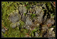 Peltigera membranacea - Photo of Saint-Seine-l'Abbaye