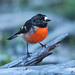 Scarlet Robin (Petroica boodang campelli) by Greg Miles