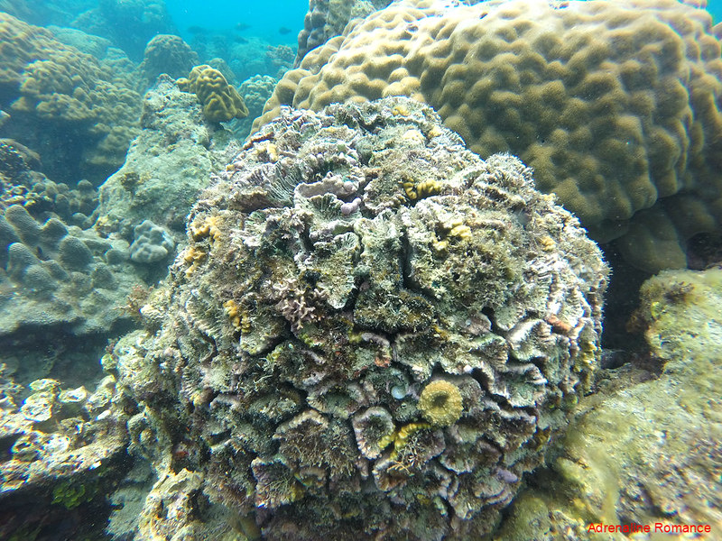 Healthy coral head at Pajo Marine Sanctuary
