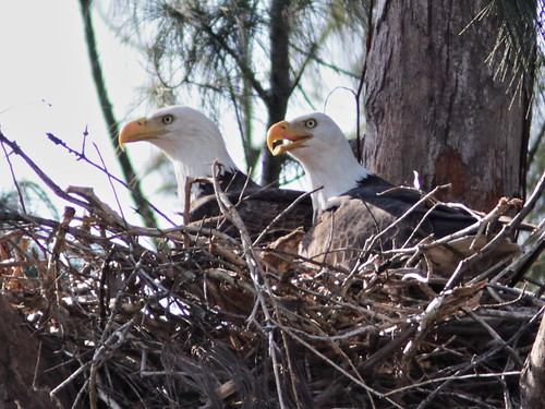Bald Eagle pair on nest 01-20171111