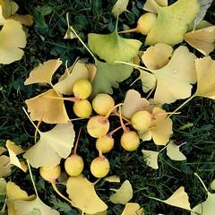 Blätter und Früchte des Ginkgobaumes