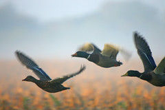 HolderDucks in the mist2