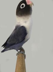 South African Lovebird Association 2017 - 2nd Best in Show - Karl Markram