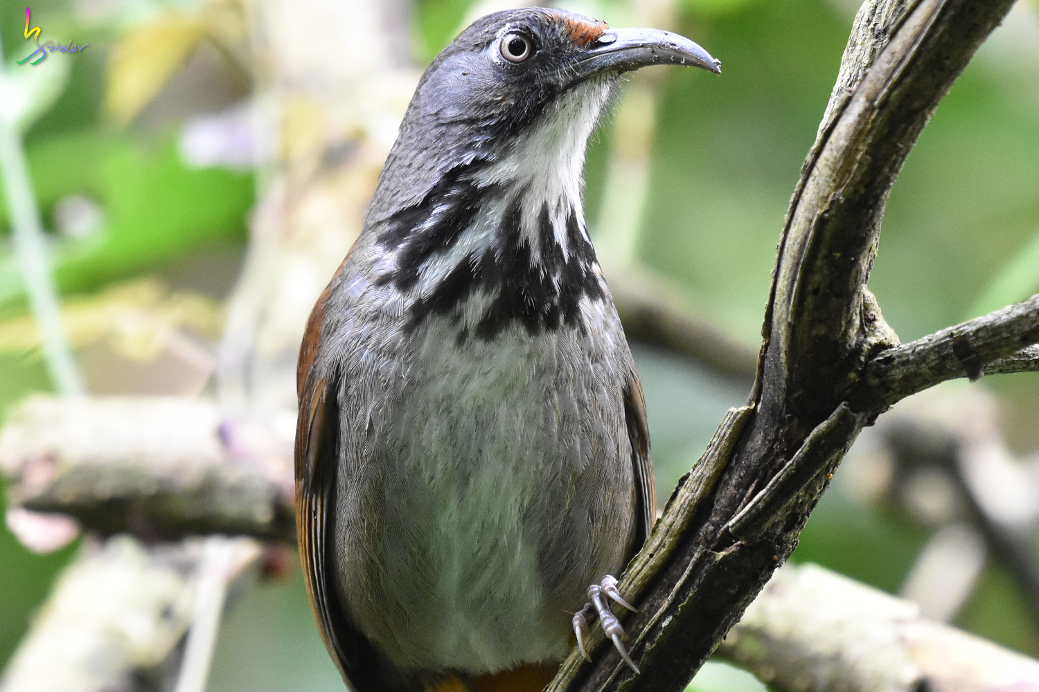 Rusty-cheeked_Scimitar-Babbler_0696