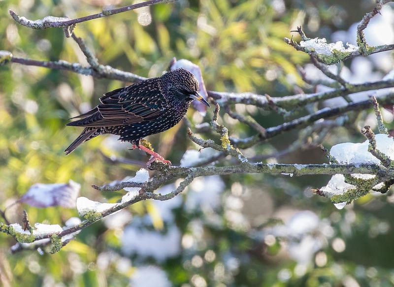 starling 142g_559