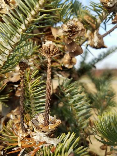 Budding Pine Cones?