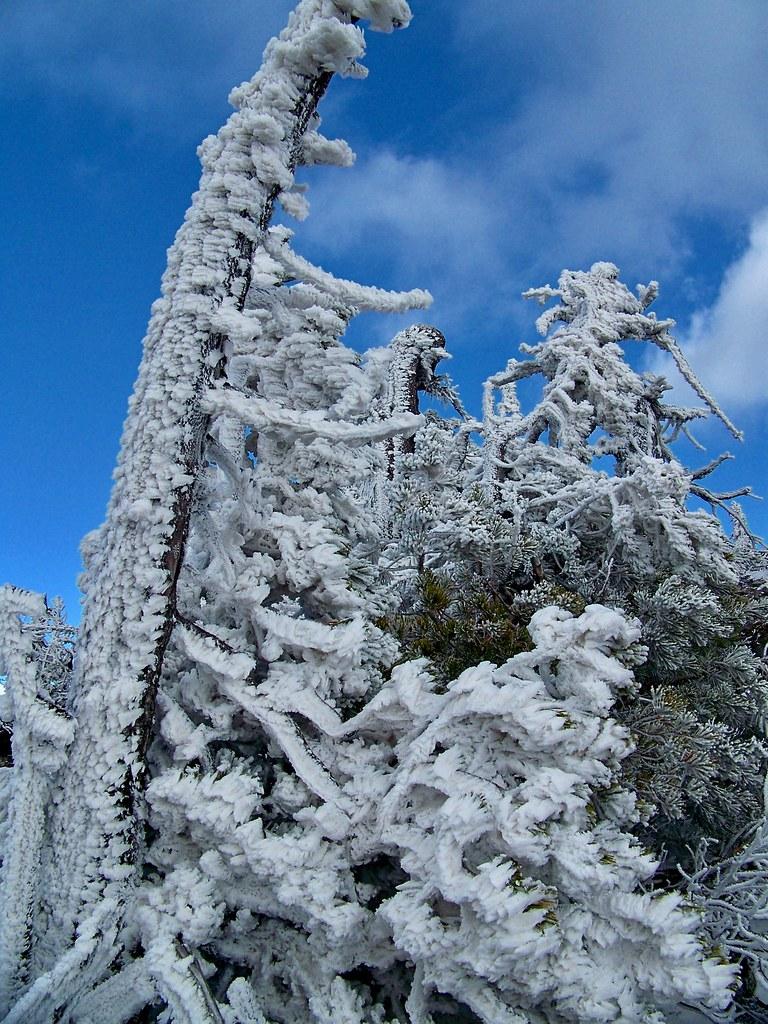 Baldy Mtn trees