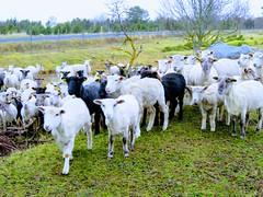 Läänemaa lambad