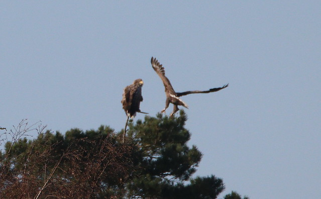 Female eagle back with her mate - IMG_9853xx