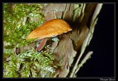 Collybie à pied velouté (Flammulina velutipes)