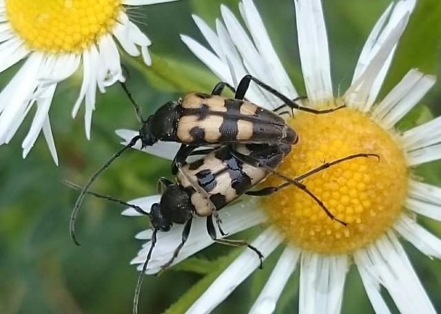 Pachytodes erraticus - rajzos virágcincér