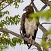 Martial Eagle, (Polemaetus bellicosus), Etosha National Park, Namibia by Lassetjus photo