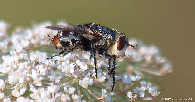 An Aptly Named Bristle Fly