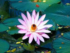 Pretty Pink Waterlily