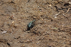 Tiger Beetle (Cicindela sp.)_3, Lookout Mountain Trail_07262017