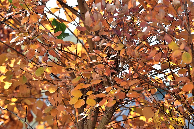 Smoketree Autumn 03.11 (2)