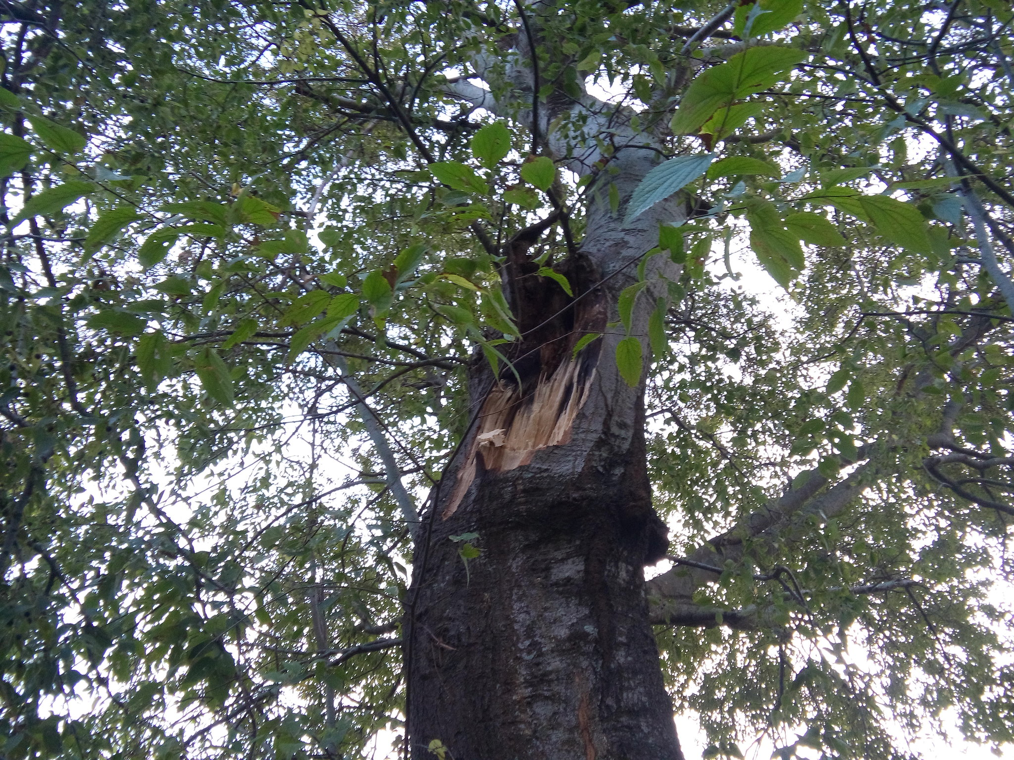 Δέντρο έσπασε στα δύο κατά την διάρκεια της καταιγίδας «Ευρυδίκη»