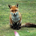 Fox (7)