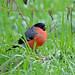 Eurasian Bullfinch, Vane Farm RSPB, Perthshire, Scotland