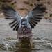 Water Pigeon?