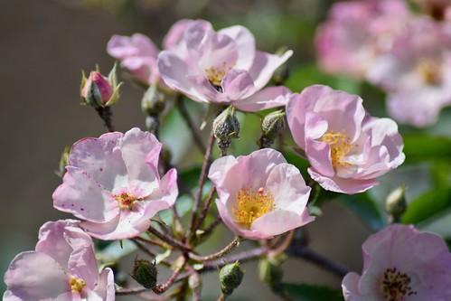 Rosier hybride musqué / Hybrid musk rose