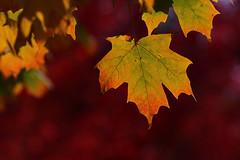 canada-fall-maple-leaf-57560_20141019_GK.jpg