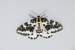 HolderMagpie Moth, St Bees, Cumbria, England