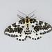 Magpie Moth, St Bees, Cumbria, England