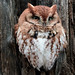 Red Morph Eastern Screech Owl by G2 Wild Images