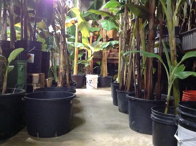 Cool Winter Storage Of Banana Plants