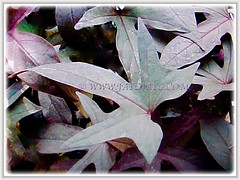 Gorgeous purplish foliage of Ipomoea batatas (Sweet Potato, Sweet Potato Vine, Keledek in Malay), 8 Nov 2017