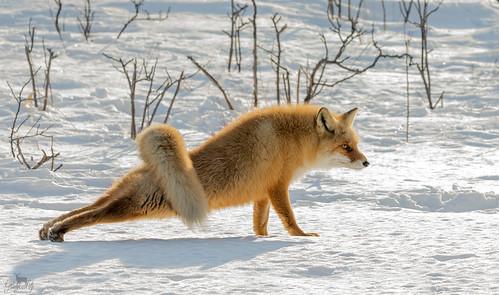 Vos / red fox / renard