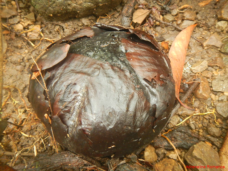 Rafflesia bud