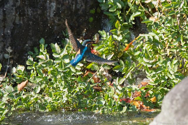 20171113-kingfisher-DSC_7654