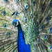 Peacock Showoff