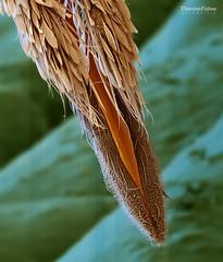 Anopheles Proboscis