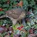 IMG_3503 Sparrowhawk & Parakeet
