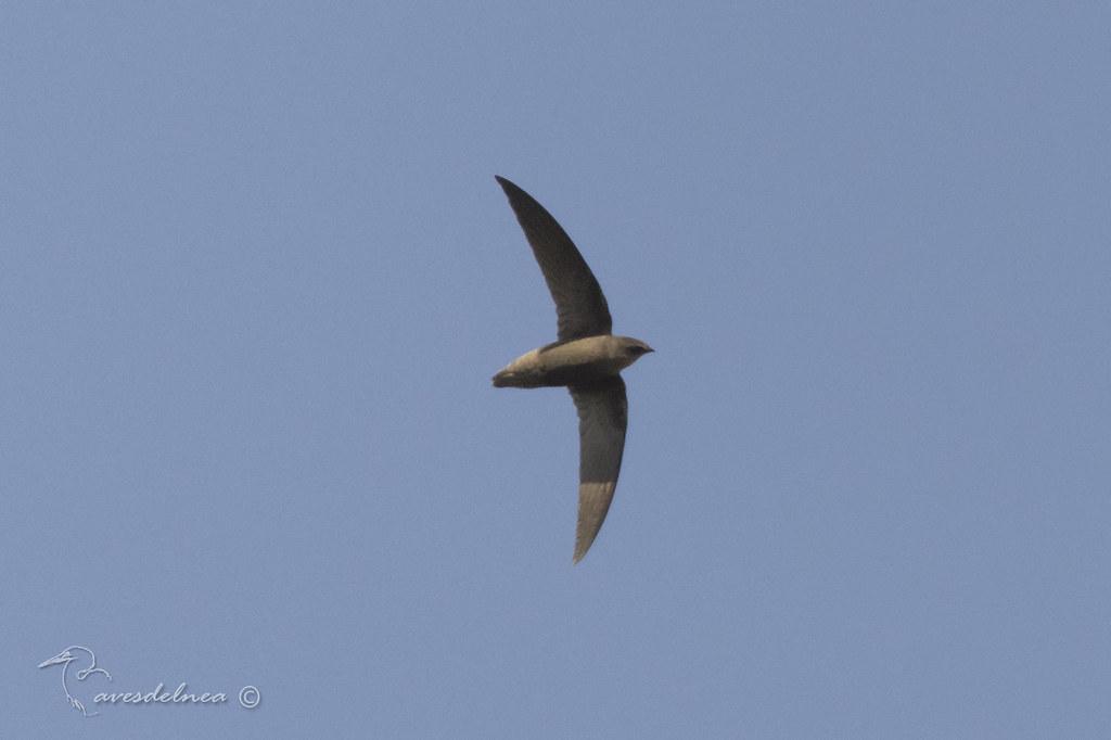 Vencejo de tormenta (Sick´s Swift) Chaetura meridionalis