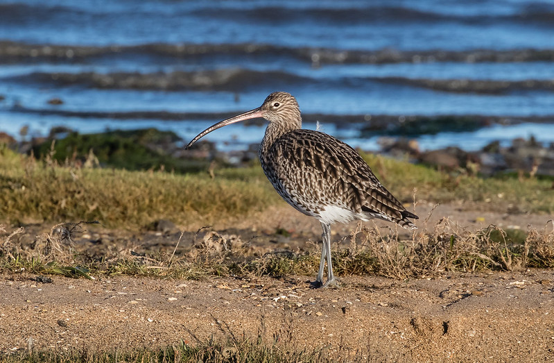 curlew 139a_141
