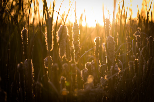 canoneos5dmarkiv ef100400mm4556lisiiusm cattails ditch rimlit fall october midmichigan midland reeds sunset