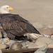 Bald Eagle (Haliaeetus leucocephalus) - Brackendale, BC by bcbirdergirl