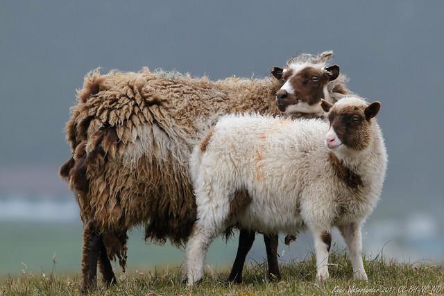 Shetland sheep - ewe and lamb