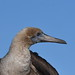 Red-footed Booby Profile