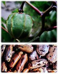 Globose fruit of Manihot esculenta (Tapioca, Cassava, Brazilian Arrowroot, Yuca, Ubi Kayu in Malay) containing 3 seeds 21 Nov 2017