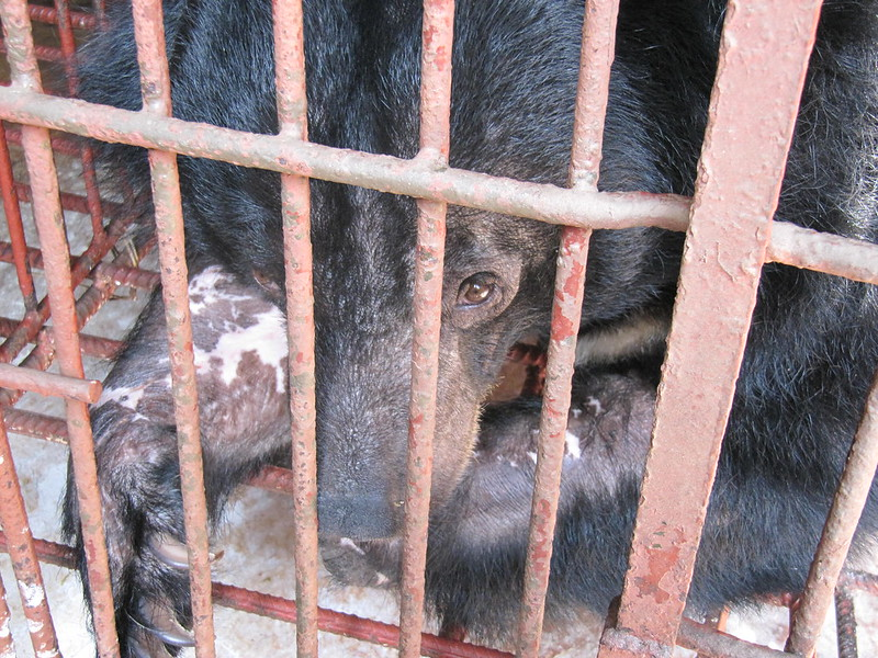 A bear languished in cage on farm, Vietnam's Binh Duong province 2011