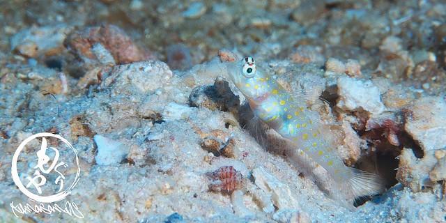 パプアニューギニアにはヤマブキハゼがそこら中に!こんなちっちゃな幼魚みたのはひさしぶり♪