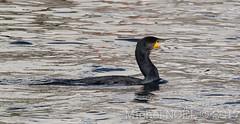 Grand Cormoran, Phalacrocorax carbo, Great Cormorant, sur reflets urbains : Michel NOËL © 2017-4409.jpg